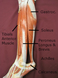 gastroc muscle lateral labeled