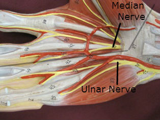 hand muscles anterior labeled