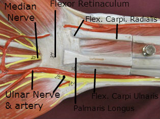 hand muscles anterior carpal tunnel labeled