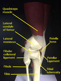 knee model lateral view labeled