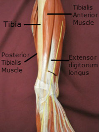 lower leg anterior muscles labeled