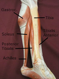 lower leg muscles achilles labeled