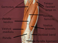 quadriceps muscle anterior 2 labeled