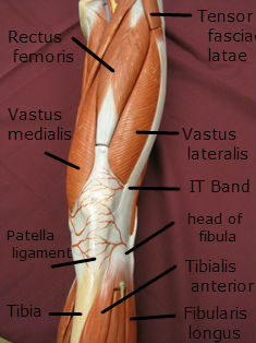 quadriceps muscle anterior labeled